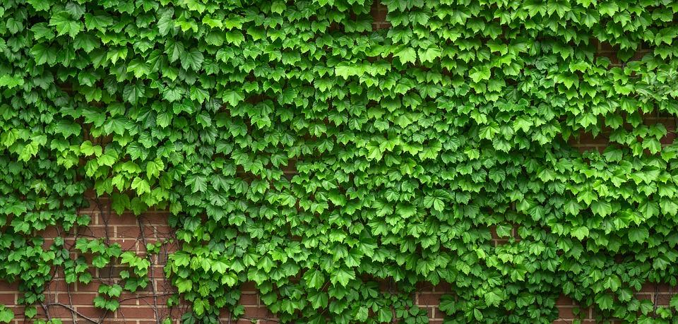 rostliny na plotě